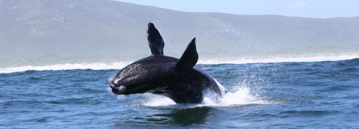 hermanus-whale